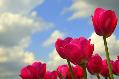 Tulips among clouds