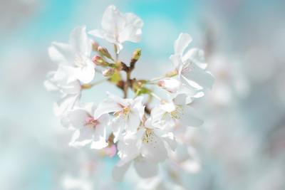 Apple blossoms #3