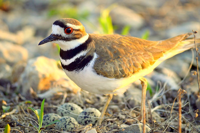 Killdeer on the nest #2