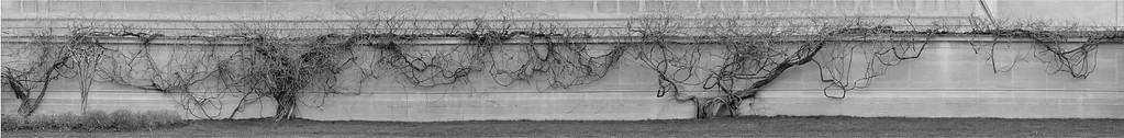 Vines, National Gallery of Art, 2009 <br /> <br /> Six photographs merged to produce this extended image of the vines.