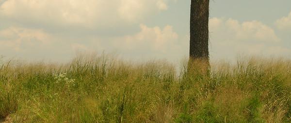 Loblolly Pine Detail, along bank of Choptank River, MD
