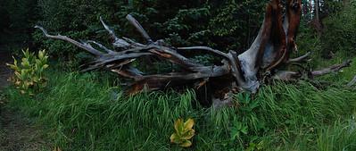 Pine Roots in Marsh.  Near Frisco, Colorado.  2009