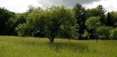 Apple tree, Stowe, Vt.