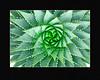 1823-Spiral Aloe v10
