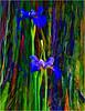 0605-0430 v16 Iris Tropicanus