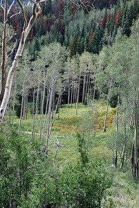 Aspen against Pines, Eaglesmere Lake, CO