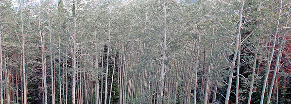 Aspens Grove, Near Eaglesmere Lake, Colorado 2007
