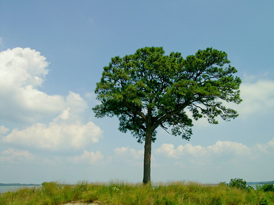 Loblolly Pine, Choptank River, Md