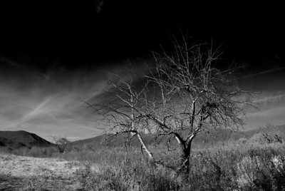 Apple Tree,  Abandoned Orchard II.  (Not hung in show for space considerations.)