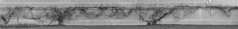 Vines, National Gallery of Art, 2009   Six photographs were merged to produce this extended image of the vines.