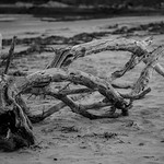 Driftwood Black and white