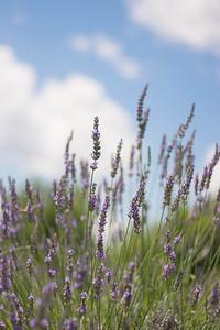 Lavender #2
