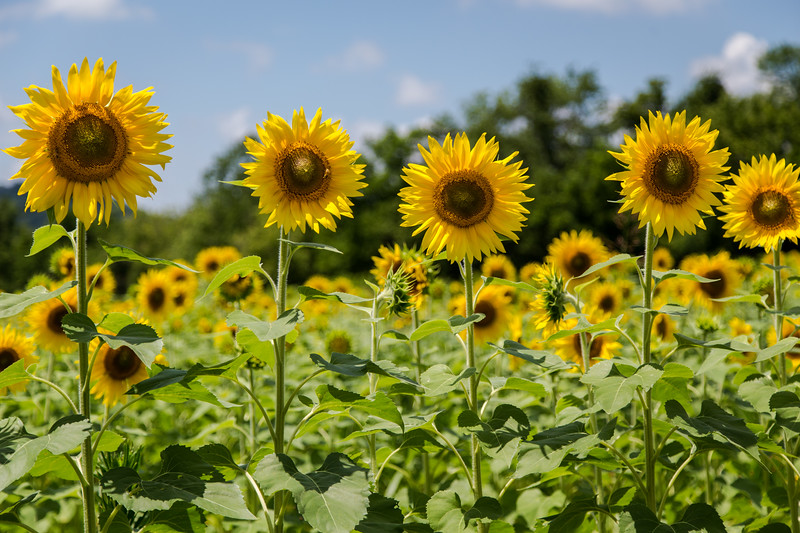 Sunflowers at Forks of the River, Knoxville 2017
