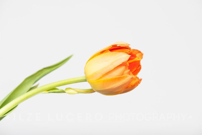 Sunset Tulip (12)
