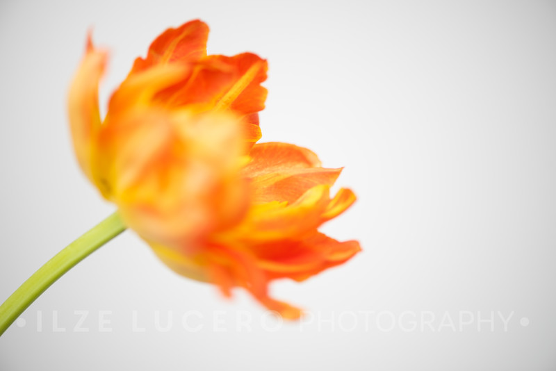 Sunset Tulip (2)