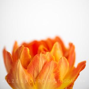 Sunset Tulip (1)