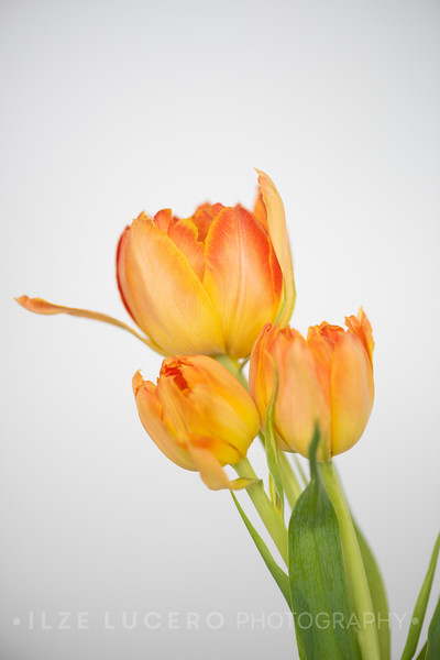 Sunset Tulip (5)