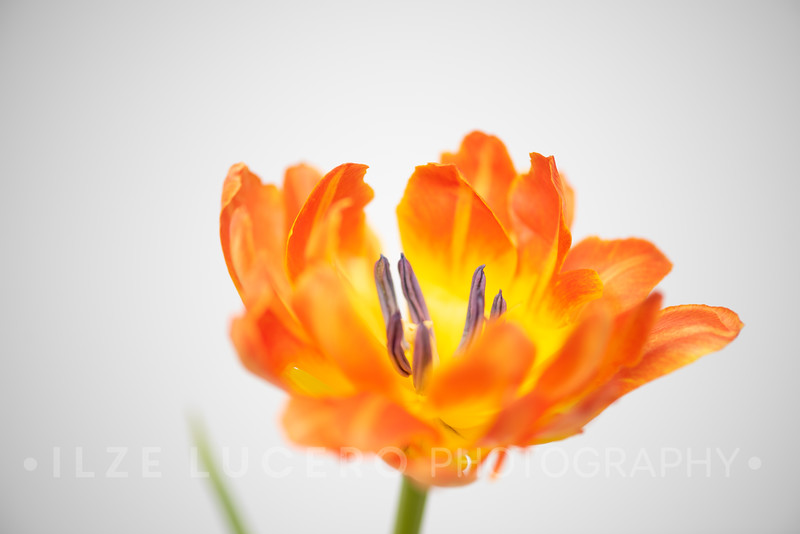 Sunset Tulip (3)