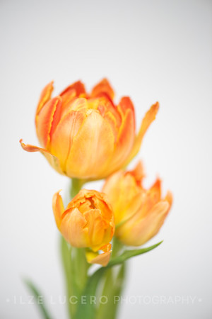 Sunset Tulip (4)