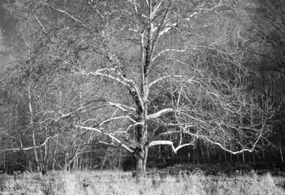 Sycamore Falls Creek: Sycamore in Field II