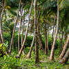 Little Corn Palm Forest