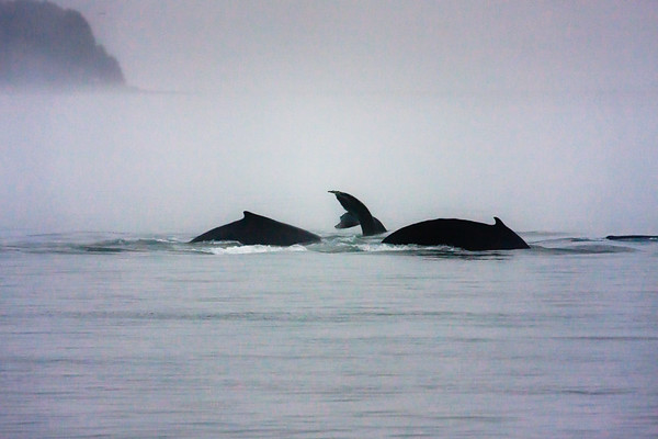 Young Bay Humpback Whales