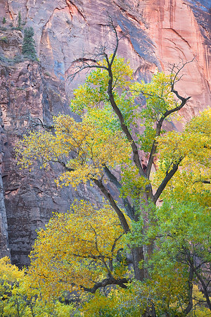 Cottonwood against canyon wall