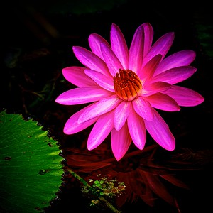 Mckee water lily