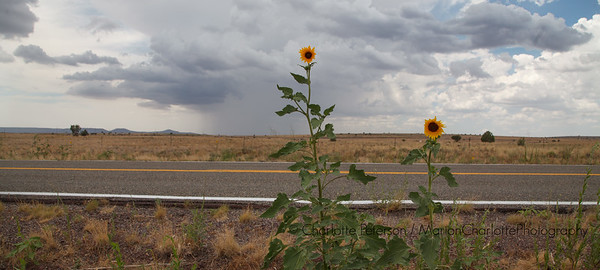 Sunflowers on the side of the road, Route 66, just before the the storm.