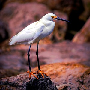 Purple Haze Egret