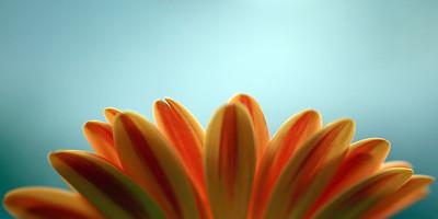 Daisy Sunrise