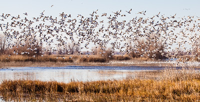 Snow Geese in flight at Gray Lodge Wildlife Preserve