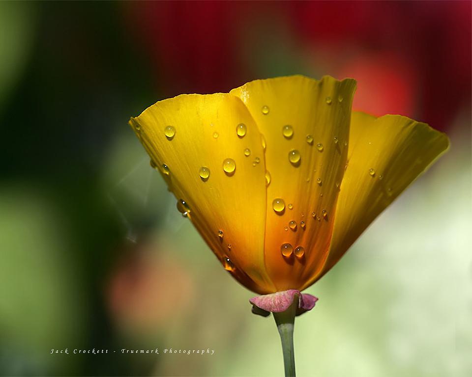Poppy Wetness