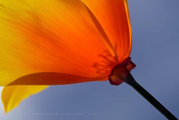 Poppy Underside