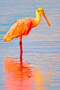 Spoonbill extreme