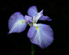 Iris Splendor.