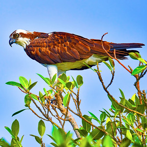 Osprey sitting on a branch