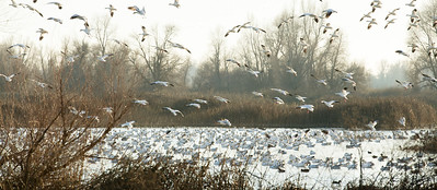 Snow Geese coming in for a landing near the end of the day at Gray Lodge Wildlife Preserve