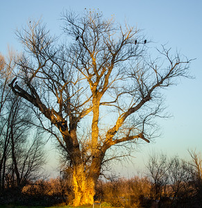 Tree with birds in the golden evening glow_Gray Lodge Wildlife Preserve