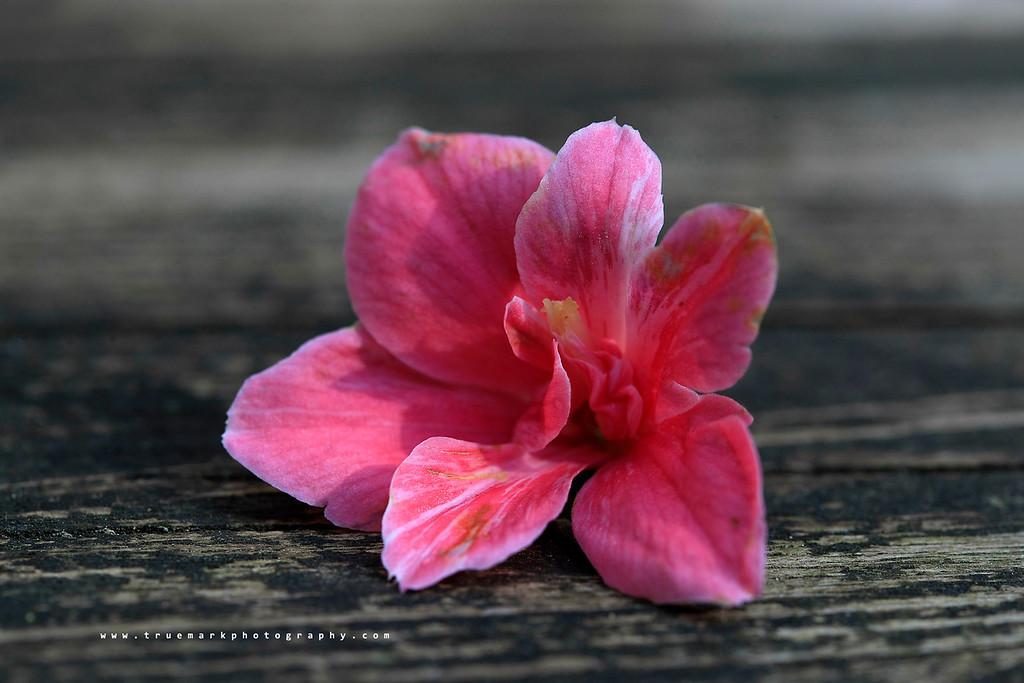Camellia Capture