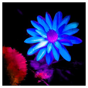 Mckee water Lily blue
