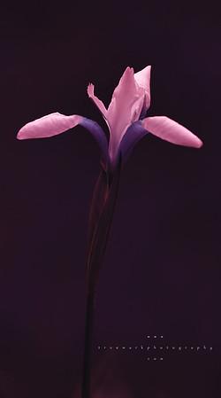 Iris Spire