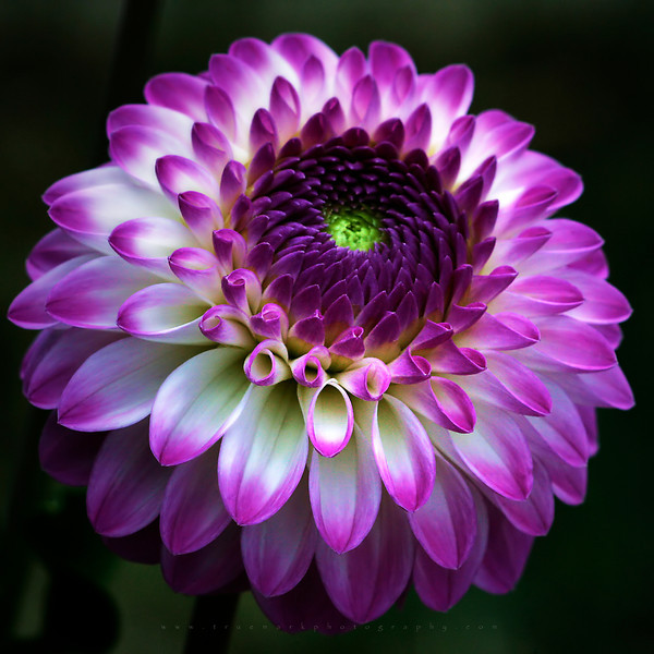 A Touch of Dahlia Magic