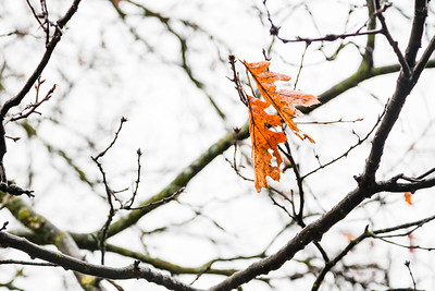Tenacious winter leaves blowin in the wind