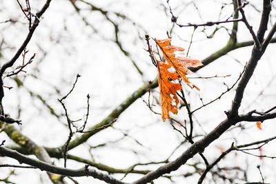 Tenacious winter leaves blowin in the wind