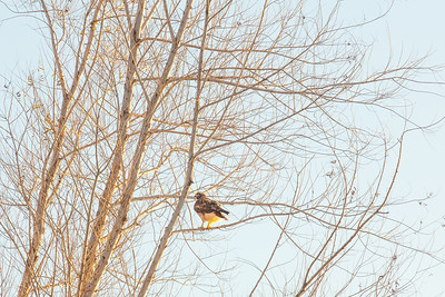 Stalking the Hawk in the tree_evening glow_Gray Lodge Wildlife Preserve