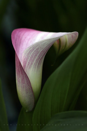 Early Spring Calla Lily