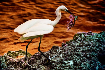 Egret with Lunch in infrared