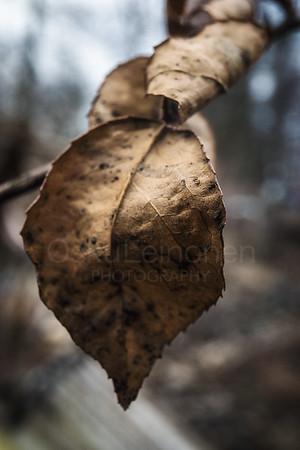 Old Leaf II