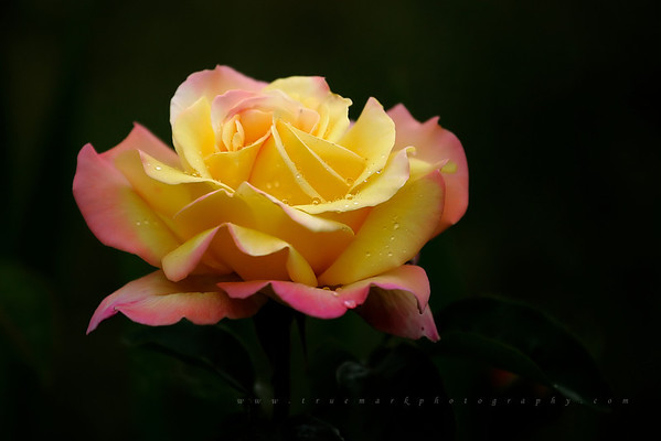Solitary Yellow Rose